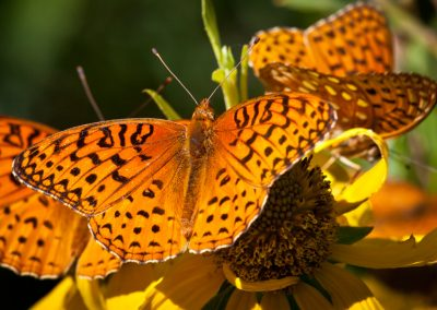 KLZR_Beautiful_Custer_County_butterflies-4933
