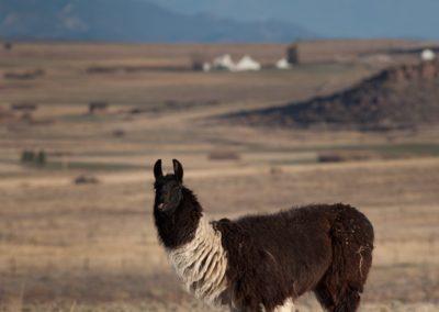 KLZR_Beautiful_Custer_County_llama-0769